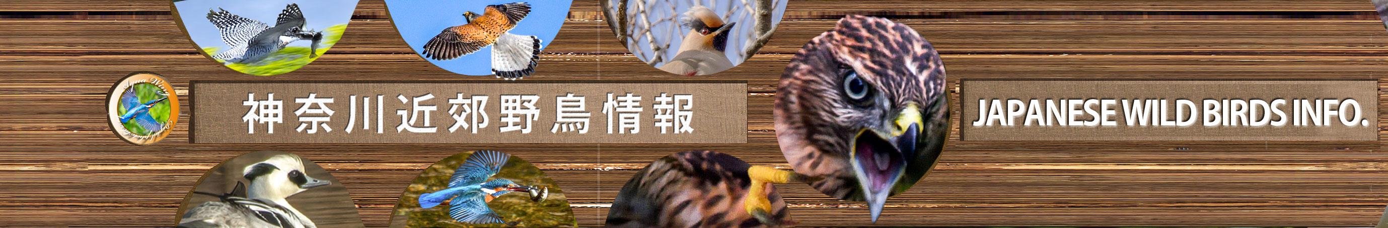 神奈川近郊野鳥情報(Japanese Wild Birds Info.)